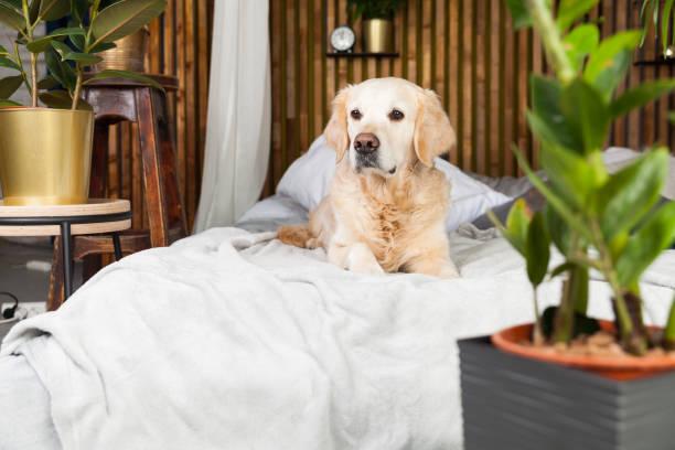 Golden retriever puppy dog on coat and pillows on bed in house or picture id1140186483?b=1&k=6&m=1140186483&s=612x612&w=0&h=ddoaek442lq6f7ejd8gop9fg grsgubuiy5xidjqzwo=