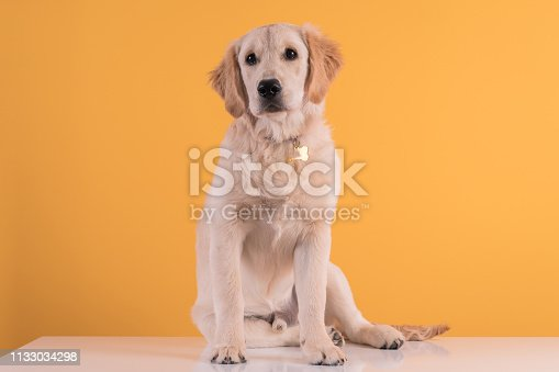 Golden retriever puppy dog over colored background.