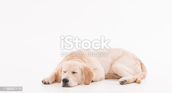 Golden retriever puppy dog over white background