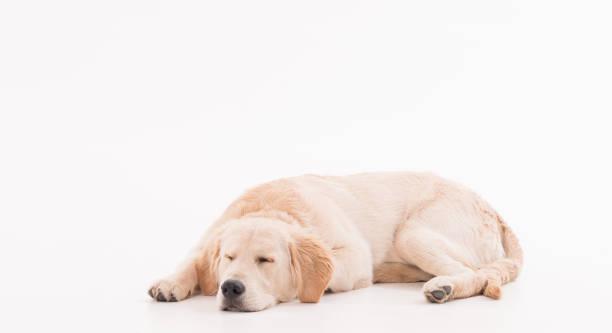 beyaz arka planda altın retriever köpek köpeği - yatmak stok fotoğraflar ve resimler