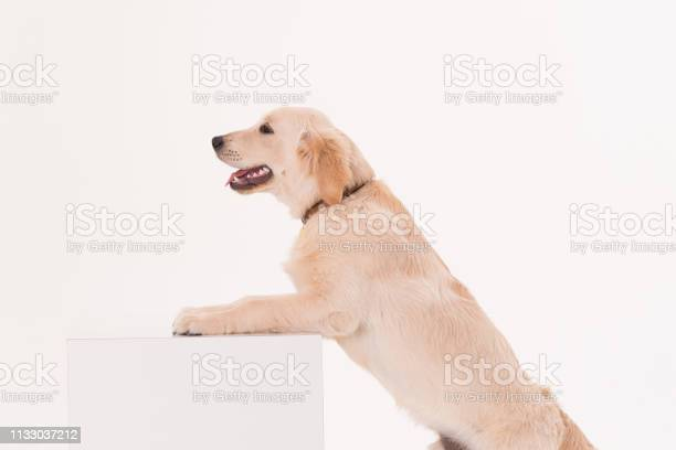 Golden retriever puppy dog with a banner picture id1133037212?b=1&k=6&m=1133037212&s=612x612&h=2v7tlf5ictfpyu azapzavbpgez69wdwmaj0gkje vi=