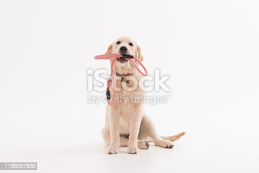 Golden retriever puppy dog with coller