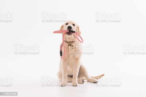 Golden retriever puppy dog with coller picture id1133037630?b=1&k=6&m=1133037630&s=612x612&h=11r2xa1haaaf tibwclkvgluo7zuimpkmxnfqtz3lxi=