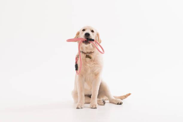 Golden retriever puppy dog with coller picture id1133037630?b=1&k=6&m=1133037630&s=612x612&w=0&h=i9ykvawp96t0k6zpadedt6kmfvwlzjzxl62sy1b8xac=