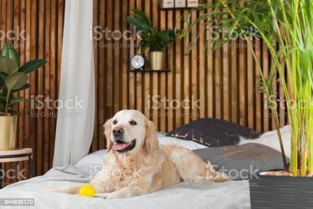 Golden retriever puppy dog with toy on bed in house or hotel scandi picture id944635170?b=1&k=6&m=944635170&s=612x612&h= ulfpgkc mwpo2febym dau3xfvh4aoyvooddtyzmhq=