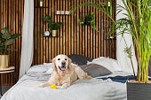 Golden retriever puppy dog with toy on bed in house or hotel. Scandi styled with green plants living room interior in art deco apartment. Pets friendly concept, copy space.
