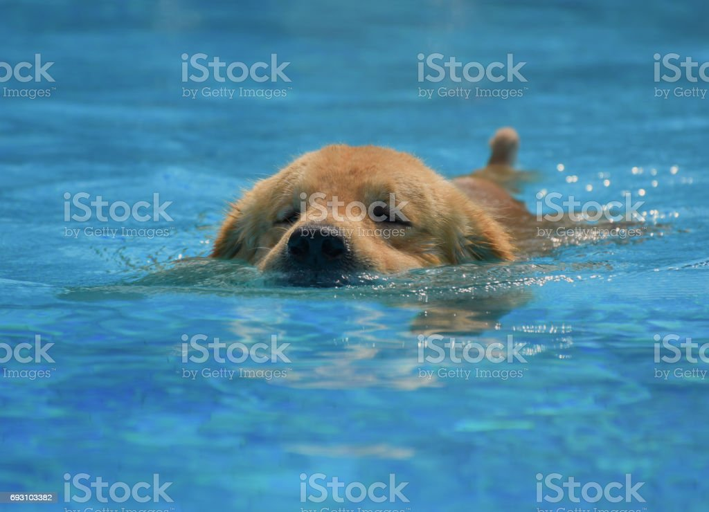Golden Retriever Puppy Exercise in Swimming Pool stock photo