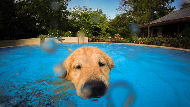 Golden retriever puppy exercises in swimming pool picture id980522504?b=1&k=6&m=980522504&s=612x612&w=0&h=ot16q4xdwgdnaz061j hijpr5ww70wo1gqs5soghntu=