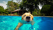 Golden Retriever Puppy Exercises in Swimming Pool (Underwater View)