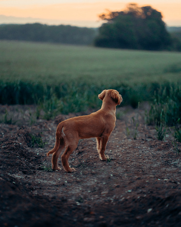 Golden retriever puppy standing in a field at dusk watching the sunset