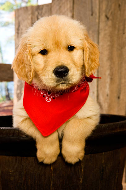 Golden Retriever puppy in barrel stock photo