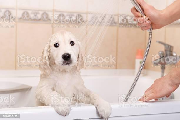 Golden retriever puppy in shower picture id530045221?b=1&k=6&m=530045221&s=612x612&h=6s lj3grz6hvfh63xfqcgoasp ua1 ltgugzldsqbl4=