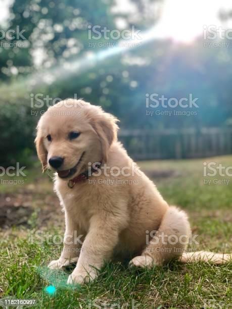 Golden retriever puppy in sun picture id1182160997?b=1&k=6&m=1182160997&s=612x612&h= ijmbm0y97gbnjef 3zts e8tnzrirmtcruxvmm1kjy=