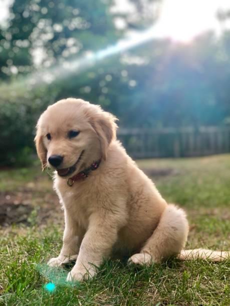 Golden retriever puppy in sun picture id1182160997?b=1&k=6&m=1182160997&s=612x612&w=0&h=hvkl0zectq2scyslq8ecawbjumqbv4hs0qiqamub608=