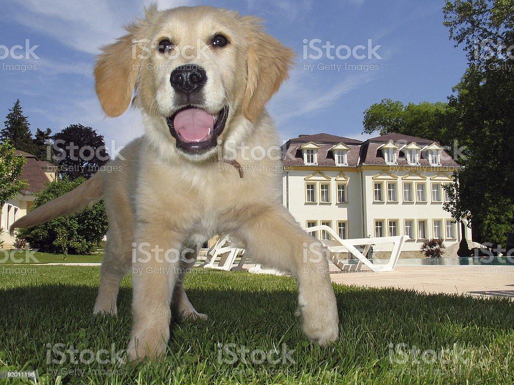Golden Retriever Puppy in the Garden royalty-free stock photo