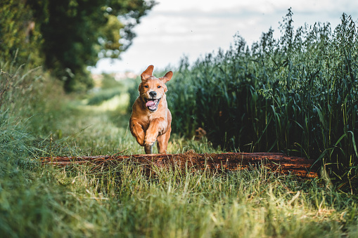 Puppy jumping over logs and sticks in a field forest