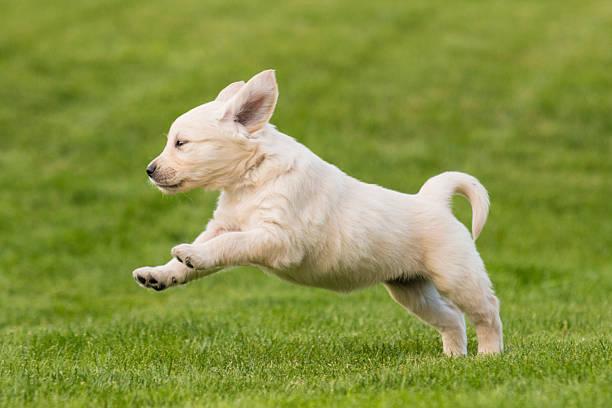 Golden retriever puppy jumping on the lawn picture id523633977?b=1&k=6&m=523633977&s=612x612&w=0&h=spttmjdztssvbxrezjowgbrxgqt7l80uyhzquhtga6s=
