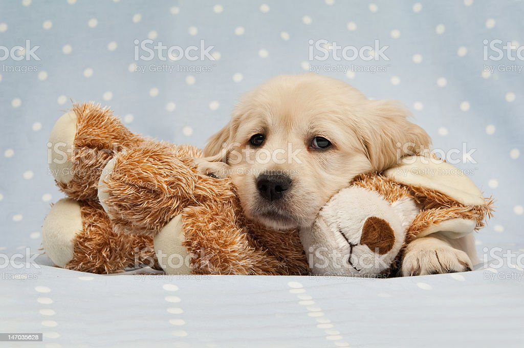 Golden Retriever Puppy laid on a teddy bear dog stock photo