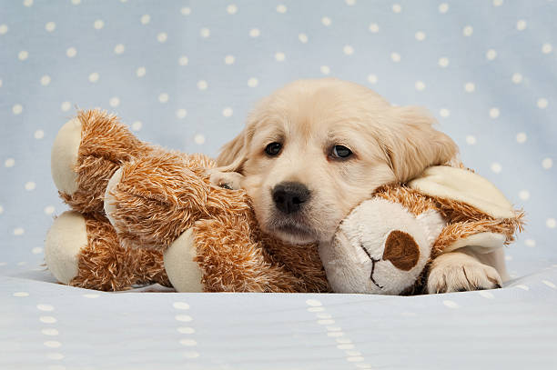 Golden Retriever Puppy laid on a teddy bear dog stock photo