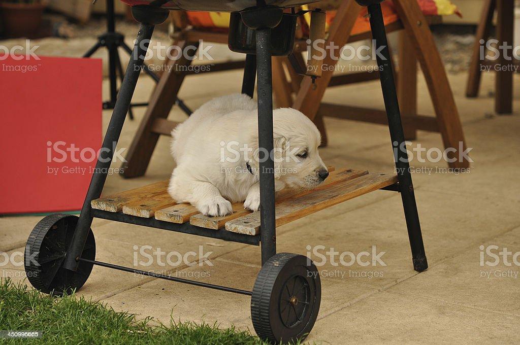 Golden retriever puppy lie bellow garden grill royalty-free stock photo