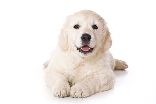 Golden retriever puppy lying and looking at the camera picture id474893326?b=1&k=6&m=474893326&s=612x612&w=0&h=irc0x4bmrdyvr0iqur1ujdnkbmhblo0ajnlwvrp8t8q=