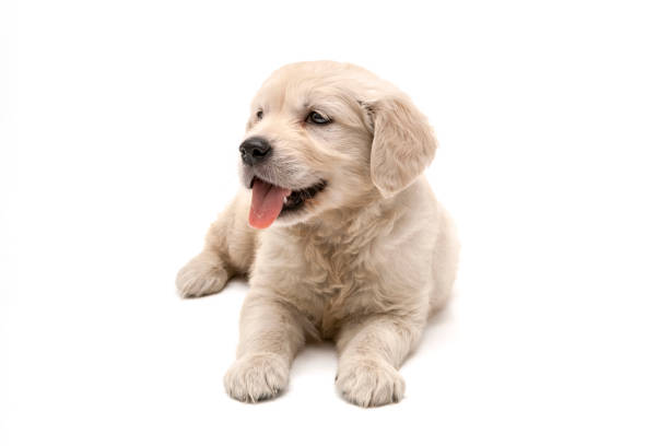 Golden retriever puppy on white background picture id1131376947?b=1&k=6&m=1131376947&s=612x612&w=0&h=eejm914rlvrcssgjajthdfuo1vjbvaozishbuxsesxc=