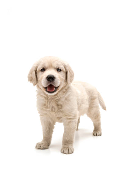 Golden retriever puppy on white background picture id1131376951?b=1&k=6&m=1131376951&s=612x612&w=0&h=g4mn97dewplzgmtzba ksktibdnvuv 4pc7vv183y4s=