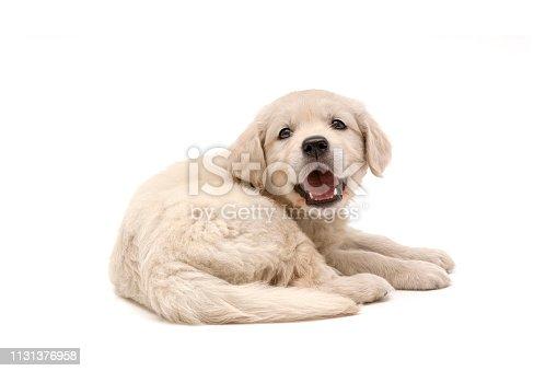 Golden Retriever puppy on white background. Three months ago