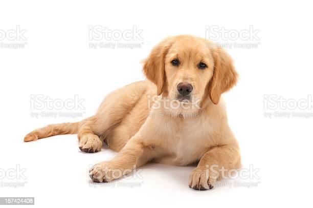 Golden retriever puppy on white background picture id157424408?b=1&k=6&m=157424408&s=612x612&h=2uoyfvrqkhw7k5ccotfxxtzpk7dalmdjuj42akohcju=