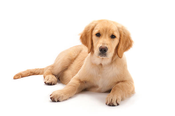 Golden retriever puppy on white background Relaxed 4 month old Golden Retriever puppy. retriever stock pictures, royalty-free photos & images