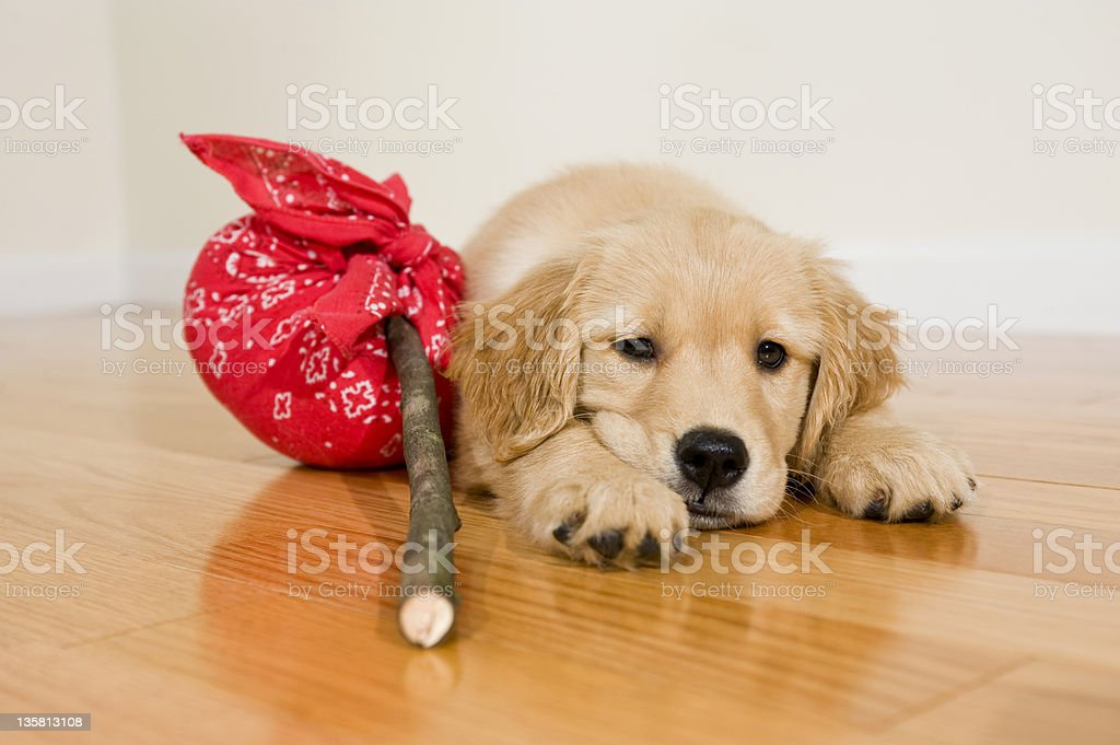 Golden Retriever puppy packed with no where to go stock photo