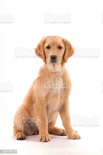 Golden retriever puppy picture id138190715?b=1&k=6&m=138190715&s=612x612&h=lptoj1bngyyqo72qbh sufupukphhfpt 8nydkzlnvi=