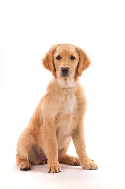 golden retriever szczeniak - golden retriever zdjęcia i obrazy z banku zdjęć