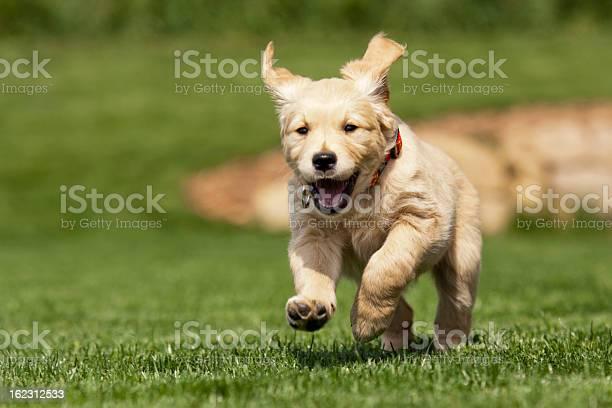 Golden retriever puppy picture id162312533?b=1&k=6&m=162312533&s=612x612&h=ciolm6p7zn53uvotz1grmwvth7asndjfint4rwvfmc0=