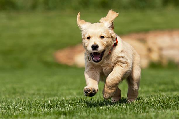 Golden retriever puppy picture id162312533?b=1&k=6&m=162312533&s=612x612&w=0&h=ef g7bkfiivc7qofrhjjmtk9hgikpv7ykrt kyxrkig=