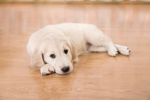 Golden retriever puppy picture id508950502?b=1&k=6&m=508950502&s=612x612&w=0&h=rlwjt5pxjbx9ptdfa87lim q1pr1hlsa o zwsugpps=