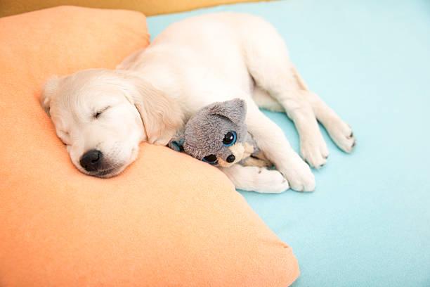 Golden retriever puppy picture id508950656?b=1&k=6&m=508950656&s=612x612&w=0&h=0ibjnb2hkxdpvk14met9mng02kojgbzmotszyqkp5gm=