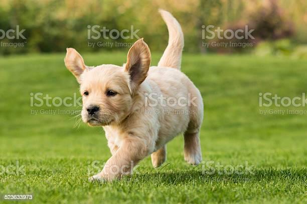 Golden retriever puppy picture id523633973?b=1&k=6&m=523633973&s=612x612&h=h vrm anpvh8c3ju65g60irqimijvi5wl4cpiyowr5o=