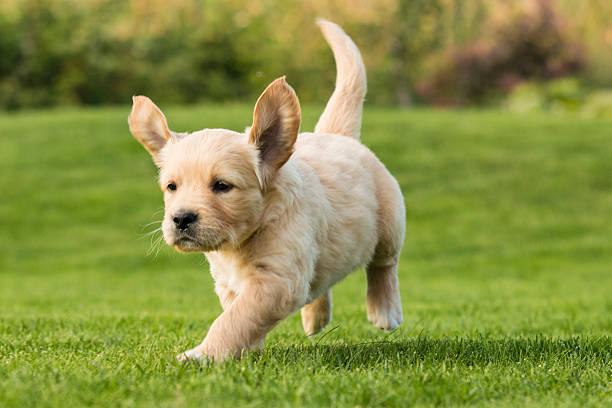 Golden retriever puppy picture id523633973?b=1&k=6&m=523633973&s=612x612&w=0&h=0ib6atsqv fz6ibf3nkqoiysrmqgdp9 ymnxmnn4n9w=