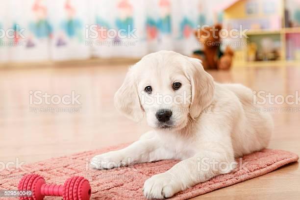 Golden retriever puppy picture id529540049?b=1&k=6&m=529540049&s=612x612&h=ya71hrwbfitiznhaymolw zhxvhmqualddrvgqvul9q=