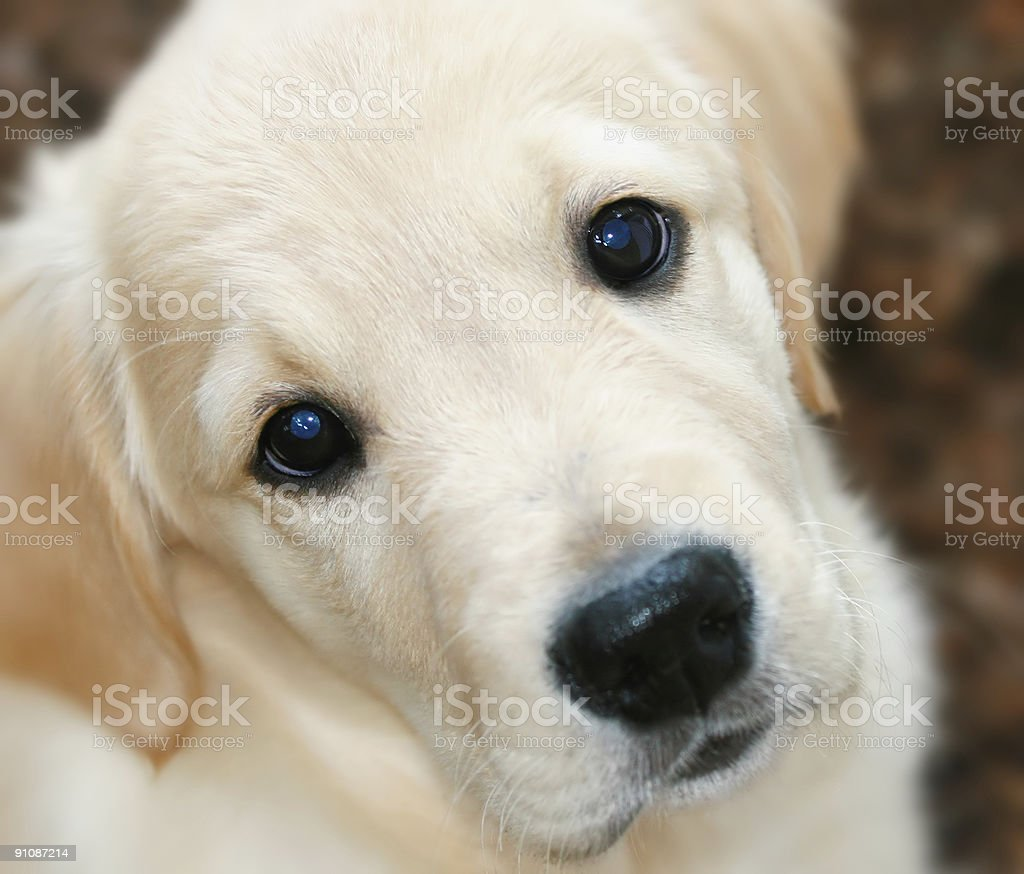 Golden Retriever puppy royalty-free stock photo
