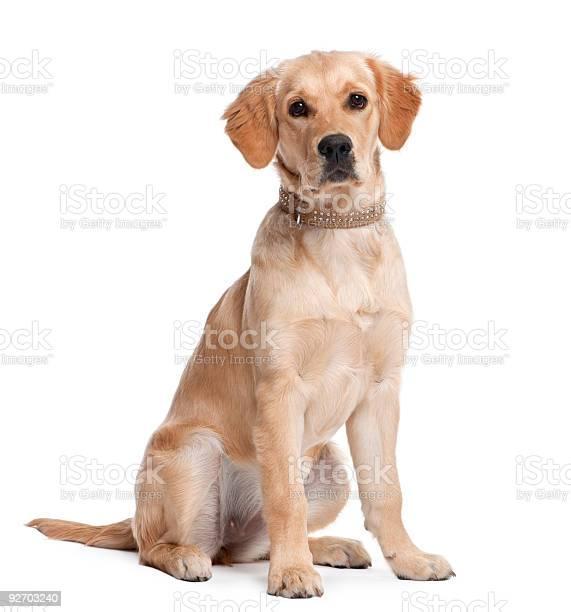 Golden retriever puppy picture id92703240?b=1&k=6&m=92703240&s=612x612&h=pljdnxnzrqlspaykvftkpooqqhxzsgqav63ycjfikcg=