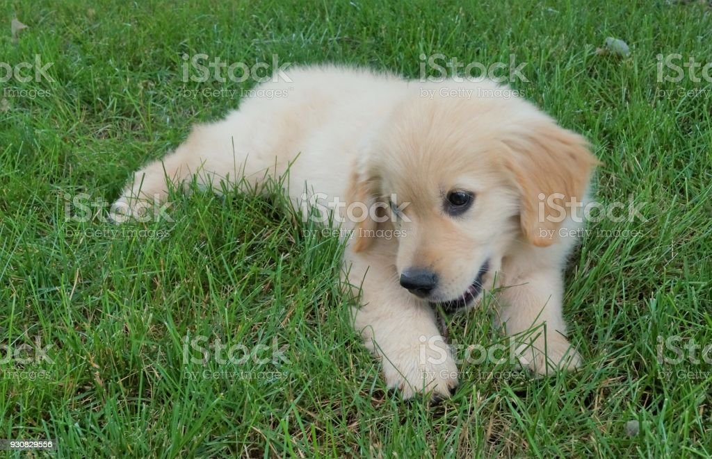 Golden Retriever Puppy Stock Photo Download Image Now Istock
