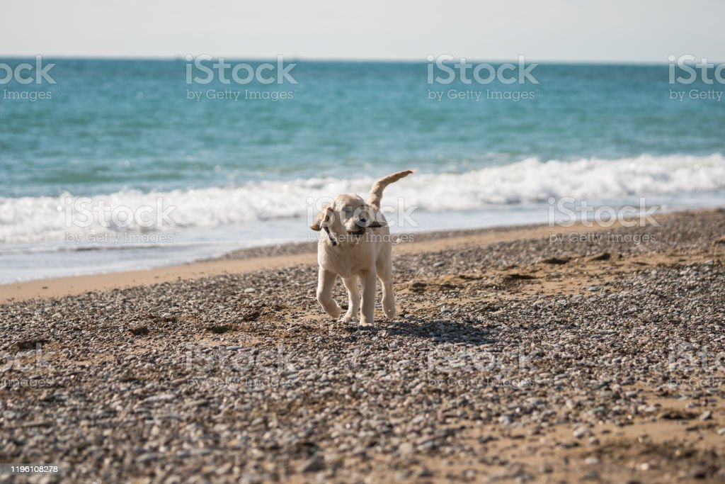 Golden Retriever Puppy Playing At The Beach Stock Photo Download Image Now Istock