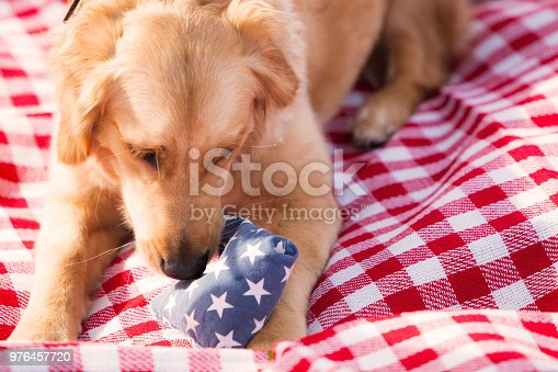A young golden retriever puppy plays with a chew toy on a red and white picnic cloth under sunlight