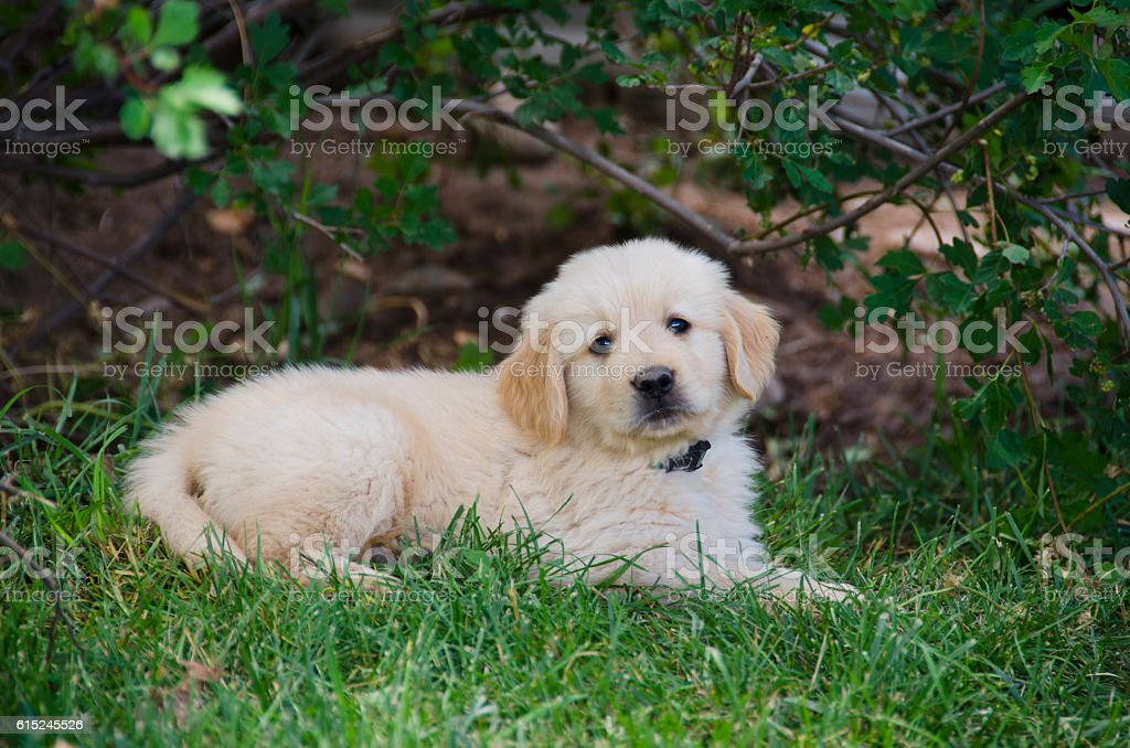 Golden Retriever Retrato de cachorro - foto de stock