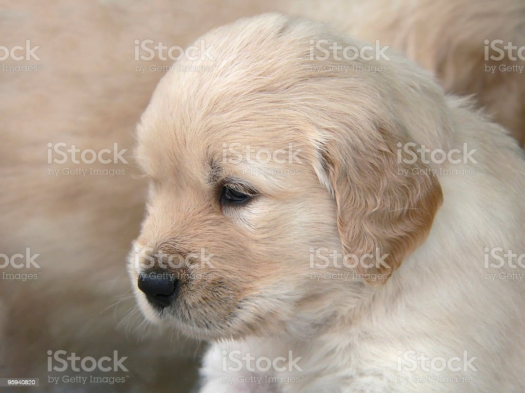 Golden Retriever puppy portrait royalty-free stock photo