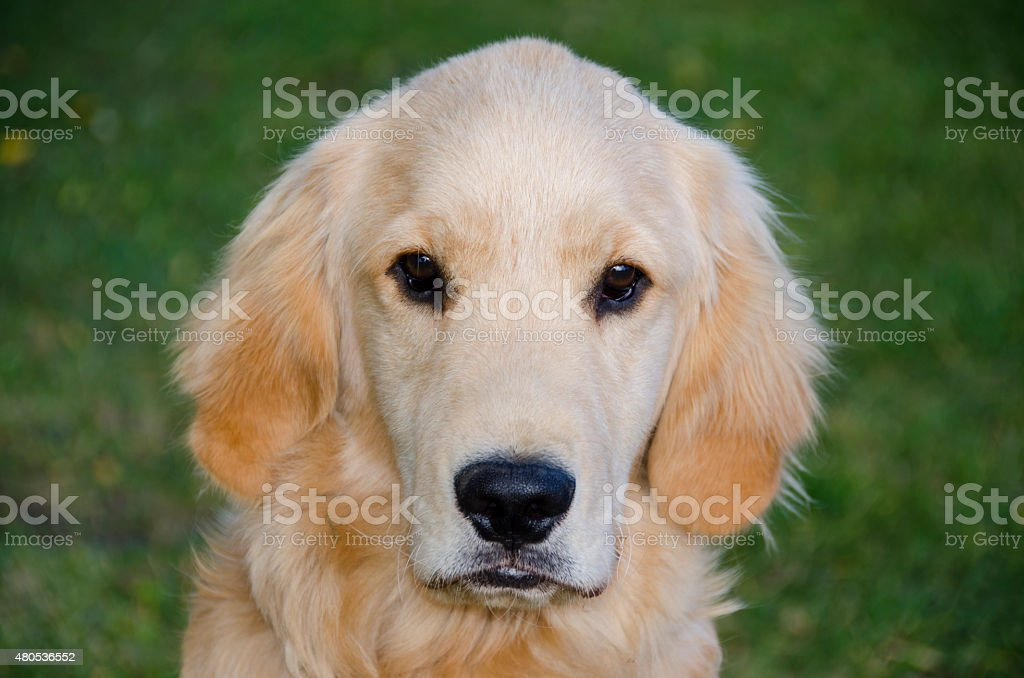 Golden Retriever Puppy Poses For The Camera Stock Photo Download Image Now Istock