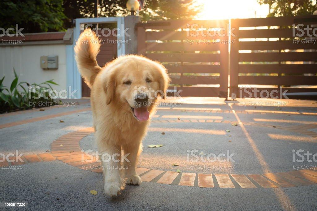 Golden Retriever Puppy Running Happily Outdoor Stock Photo Download Image Now Istock
