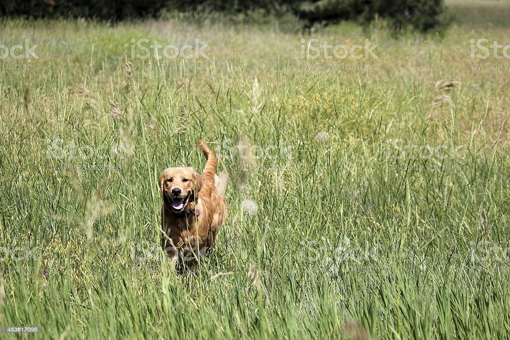 Golden retriever puppy running in a field royalty-free stock photo